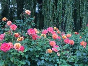 Roses in Queen's Circle in Regents Park.