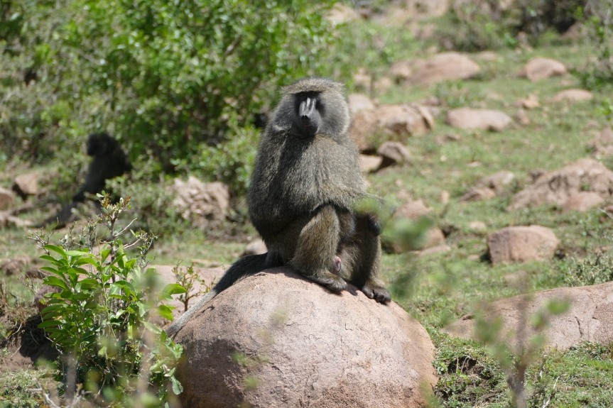 Baboon on rock