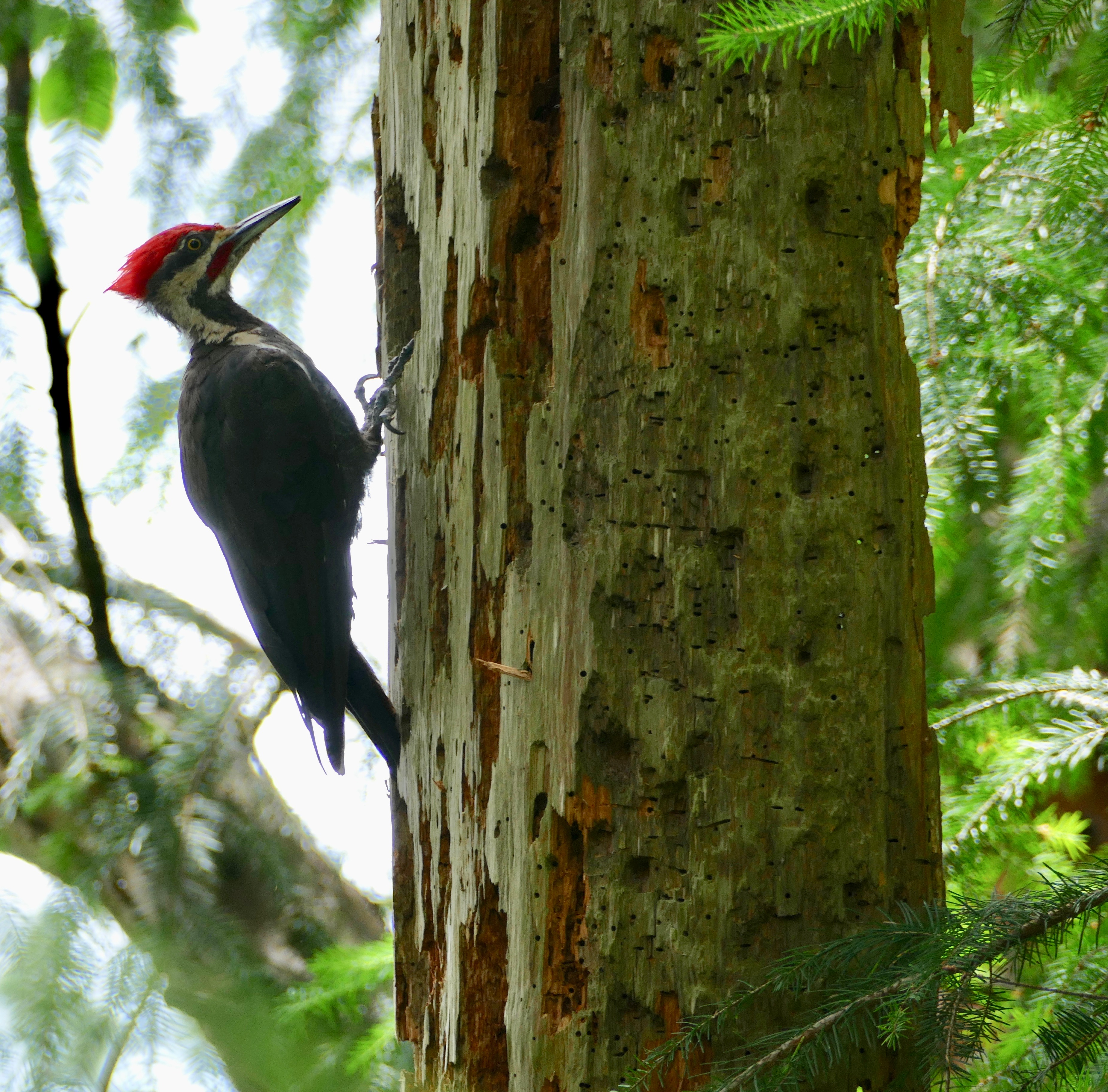 Pileated body