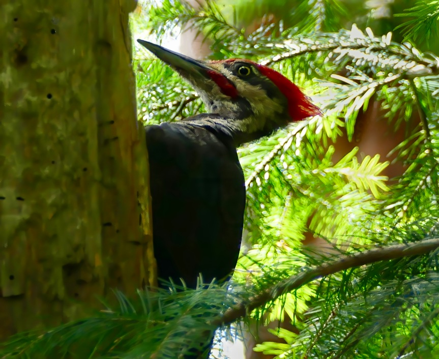 Pileated head